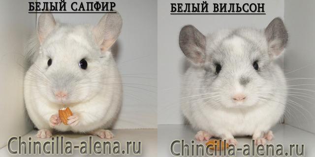Белый сапфир и белый вильсон, сравнение