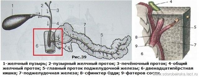 http://data.lact.ru/f1/s/58/764/image/1641/452/medium_Ris.39.Zhelchnyiy_puzyir-in1.jpg