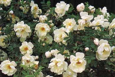 Розы. . Семейство розоцветные. . Классификация, советы по выращиванию.